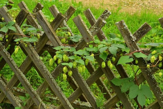 Peut on planter du houblon dans son jardin for Planter un arbre dans son jardin