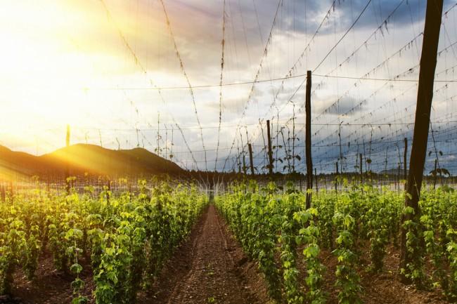 La bière artisanale met-elle en danger le marché du houblon ?