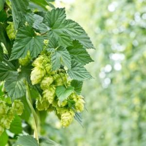 La fraîcheur des bières de style India Pale Ale (IPA)