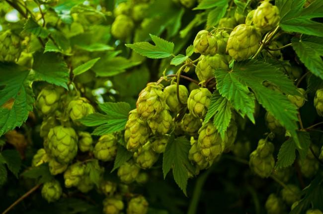 Les calculs de la bière : l'amertume (IBU)