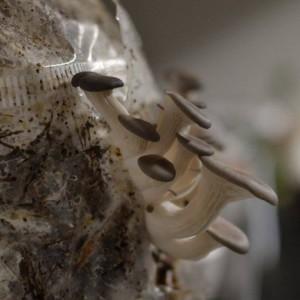 Faire pousser ses champignons maison (à base de drêches de brassage)