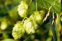 C'est quoi le houblon dans la bière ?